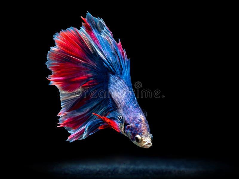 Ψάρια πάλης του Σιάμ στο Μαύρο, ψάρια betta στοκ εικόνες