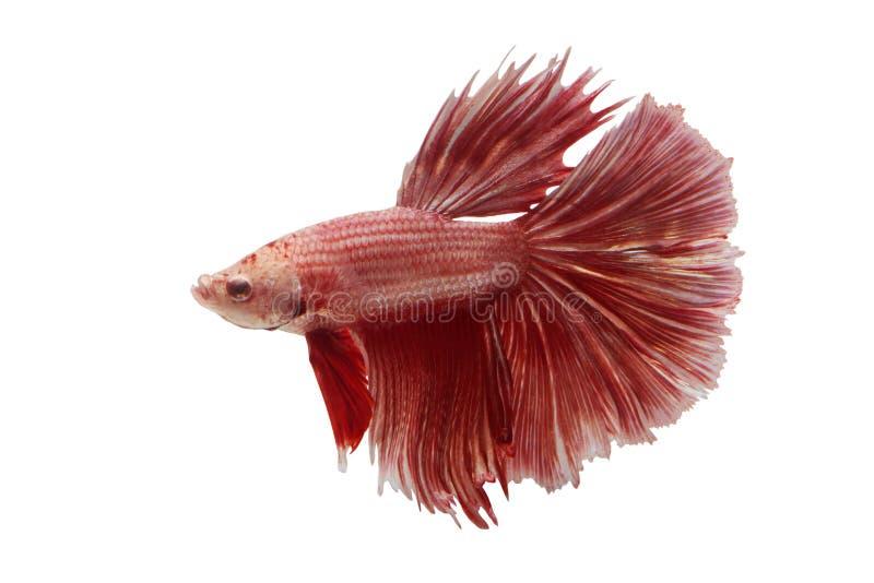 Ψάρια πάλης του Σιάμ στοκ εικόνα με δικαίωμα ελεύθερης χρήσης
