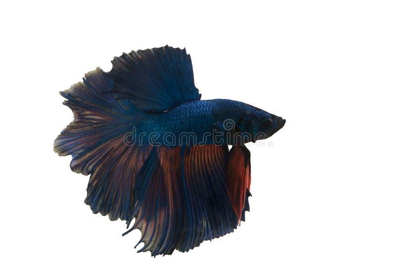 ψάρια πάλης στοκ φωτογραφία με δικαίωμα ελεύθερης χρήσης