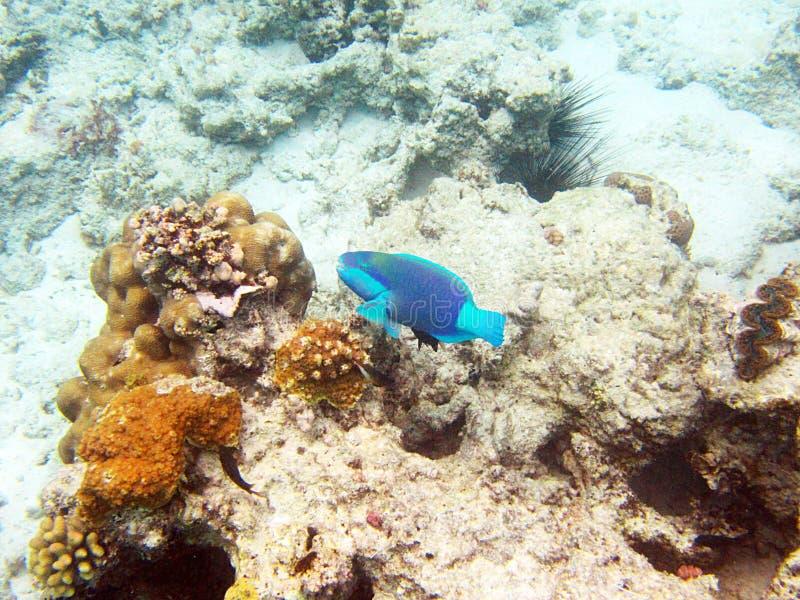 Ψάρια παπαγάλων στοκ εικόνες με δικαίωμα ελεύθερης χρήσης