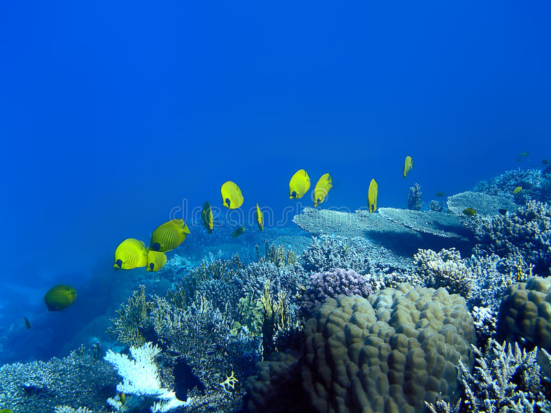 ψάρια πεταλούδων που καλύπτονται στοκ εικόνες