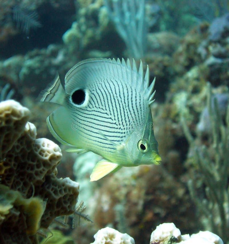 ψάρια πεταλούδων στοκ φωτογραφία