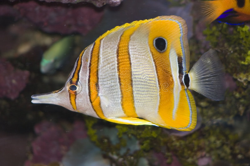 Download ψάρια πεταλούδων Copperband Στοκ Εικόνα - εικόνα από aquitaine, πεταλούδα: 389411