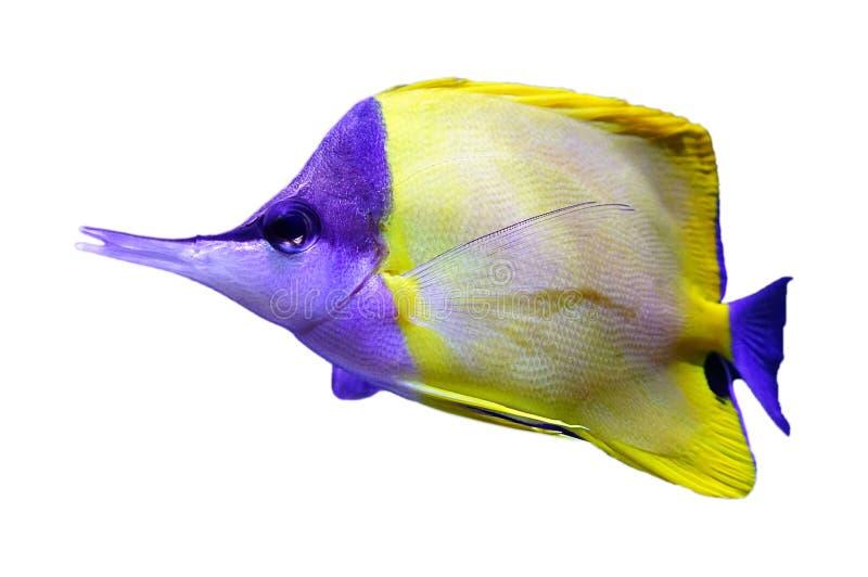 Ψάρια πεταλούδων, που απομονώνονται στοκ εικόνες