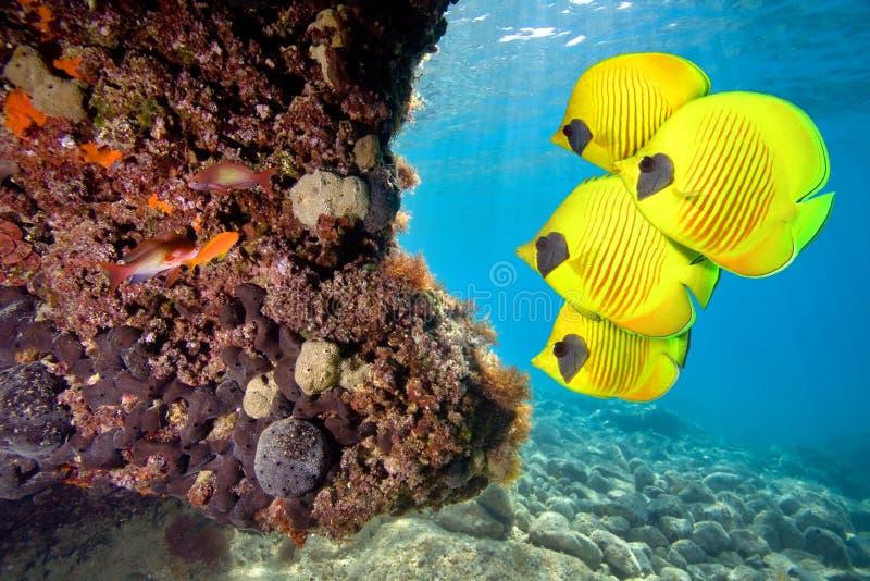 ψάρια πεταλούδων που κα&lambd στοκ φωτογραφία με δικαίωμα ελεύθερης χρήσης
