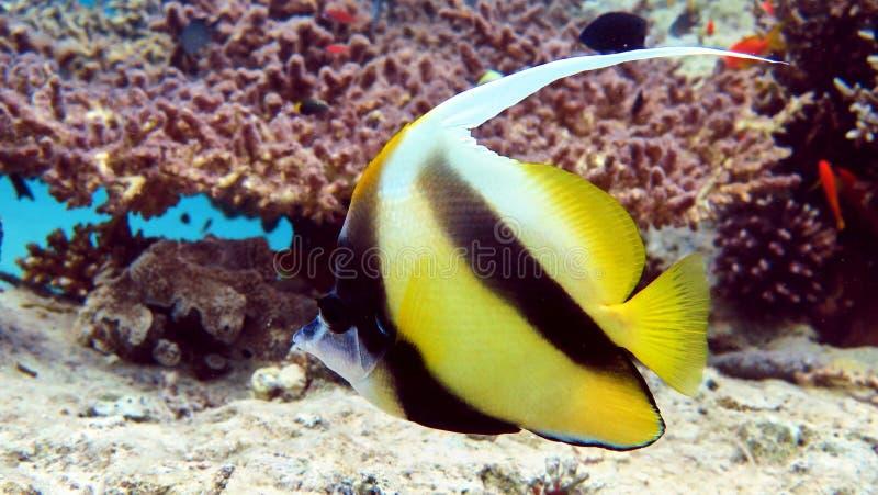 Ψάρια πεταλούδων στη Ερυθρά Θάλασσα στοκ εικόνα