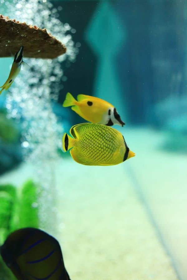 Ψάρια πεταλούδων στοκ φωτογραφία με δικαίωμα ελεύθερης χρήσης