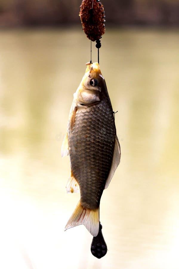 Ψάρια που αλιεύονται στο καλάμι ψαρέματος στοκ φωτογραφία με δικαίωμα ελεύθερης χρήσης