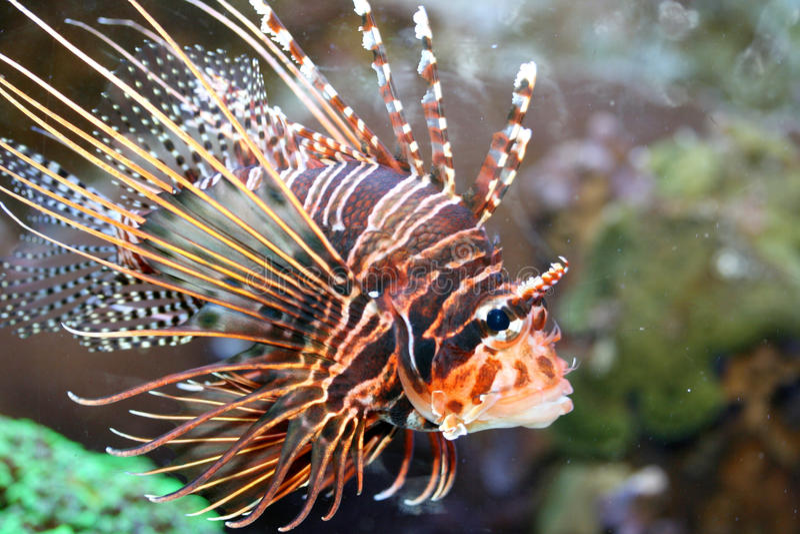 Ψάρια πυρκαγιάς κεραιών (antennata Pterois) στοκ εικόνες με δικαίωμα ελεύθερης χρήσης
