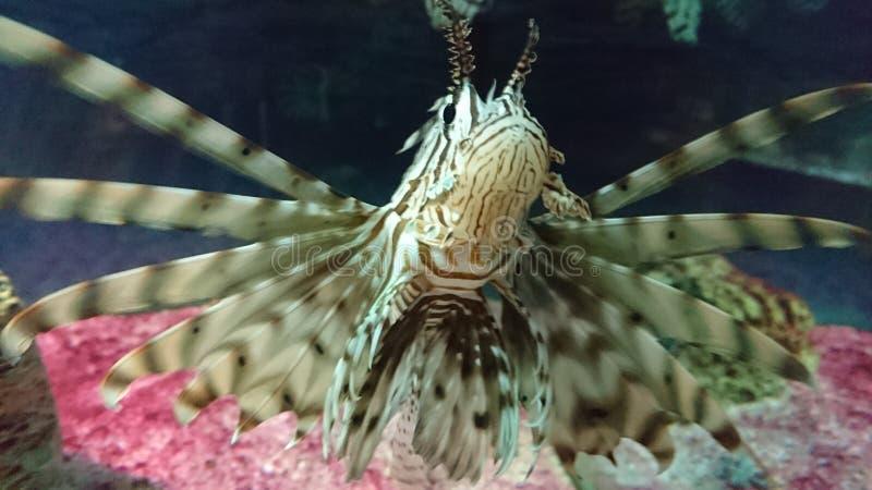 Ψάρια πυρκαγιάς στο θαλάσσιο ενυδρείο στοκ εικόνα