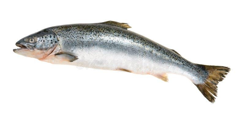 Ψάρια σολομών που απομονώνονται στο λευκό χωρίς σκιά στοκ εικόνες