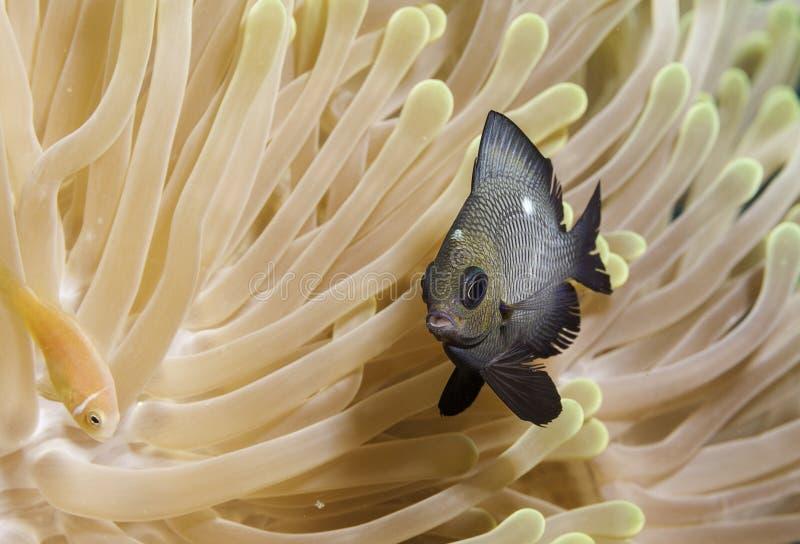 Ψάρια στα κοράλλια στις Μαλδίβες, μια που έχει αποφασίσει του και έχει καλύψει στοκ εικόνες