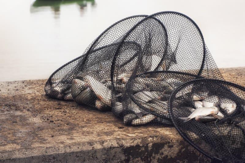 Ψάρια στο δίχτυ ψαρέματος στοκ εικόνα με δικαίωμα ελεύθερης χρήσης