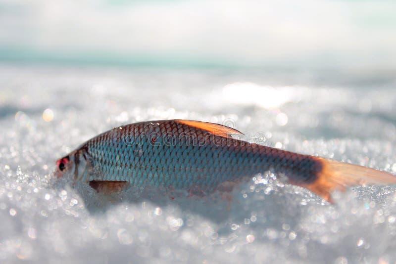 Ψάρια στο χιόνι στοκ εικόνες