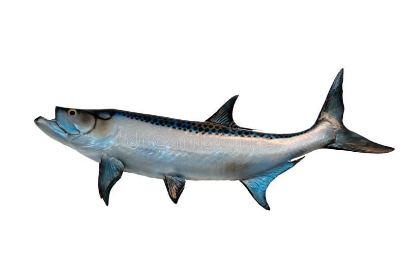 Ψάρια τάρπον στοκ φωτογραφία με δικαίωμα ελεύθερης χρήσης