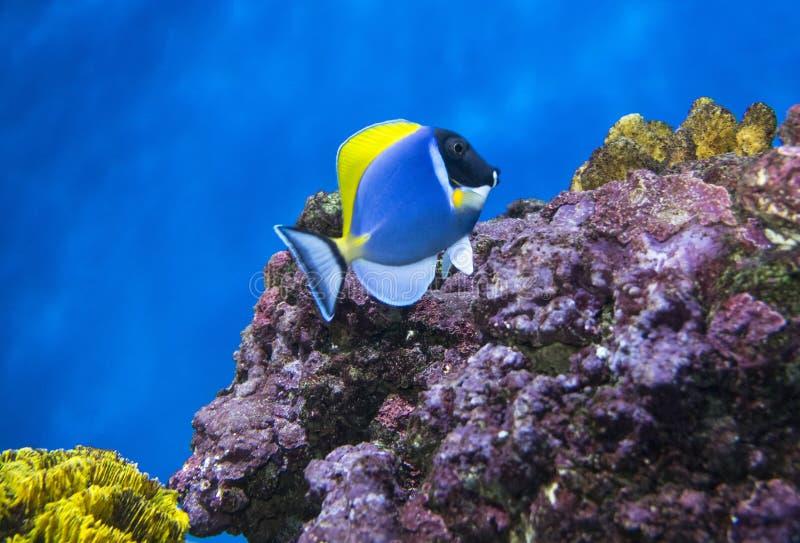 ψάρια τροπικά Μπλε χειρούργος Whitechest Acanthurus leucosternon στοκ φωτογραφία με δικαίωμα ελεύθερης χρήσης