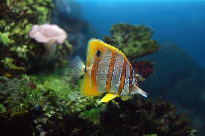 Download ψάρια τροπικά στοκ εικόνα. εικόνα από κοράλλι, πτερύγιο - 2227685