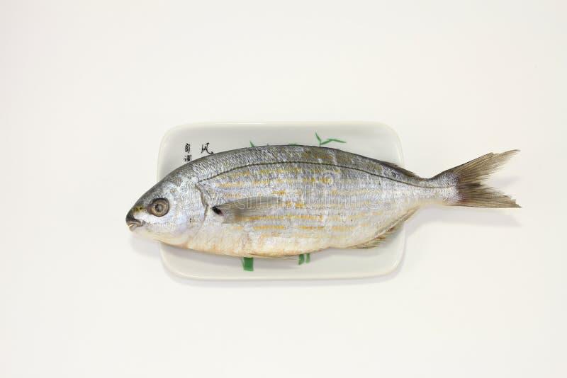 Ψάρια φάγρων Salema στοκ εικόνες