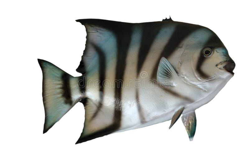 Ψάρια φτυαριών στοκ φωτογραφίες