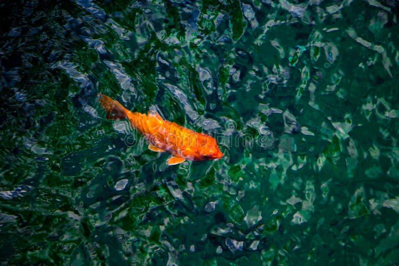 Ψάρια χρώματος στο νερό στοκ εικόνα