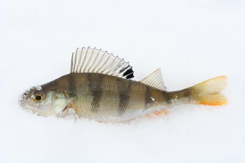Download ψάρια στοκ εικόνα. εικόνα από τρόφιμα, πέρκα, πιασμένος - 525167