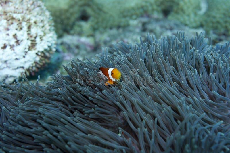 ψάρια anemone ένα στοκ εικόνες