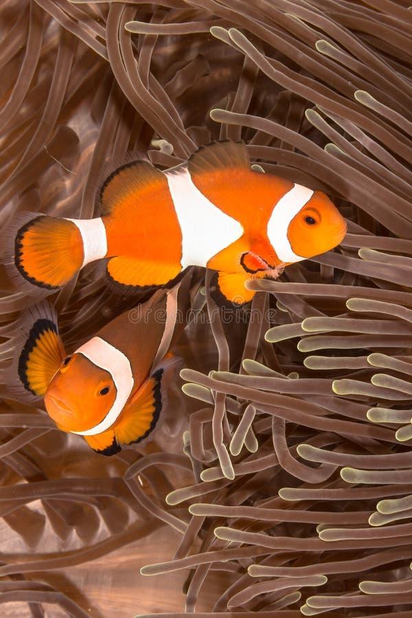 Ψάρια Anemone κλόουν στοκ εικόνες με δικαίωμα ελεύθερης χρήσης