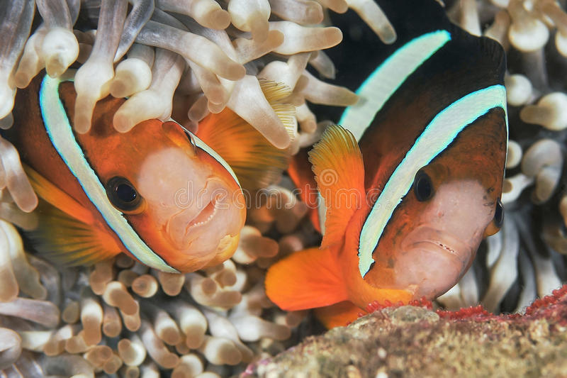 Ψάρια Anemone στοκ φωτογραφία