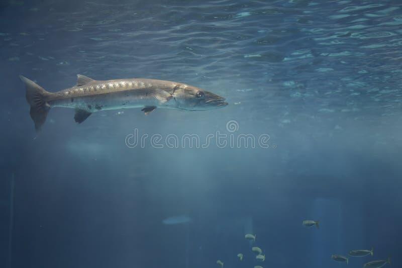 Ψάρια barracuda ενυδρείων θαλάσσιου νερού στοκ φωτογραφία με δικαίωμα ελεύθερης χρήσης
