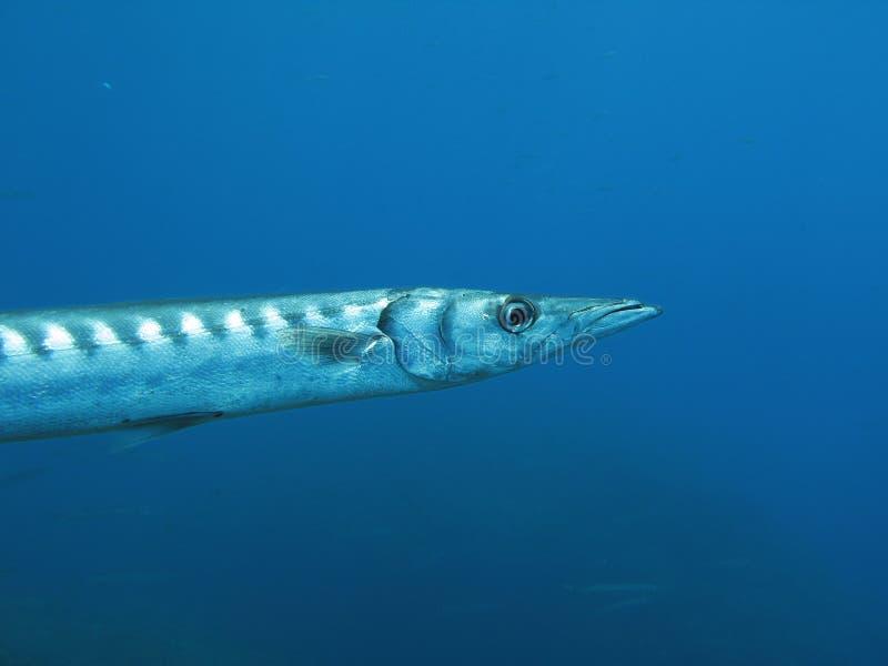 ψάρια barracuda στοκ φωτογραφία με δικαίωμα ελεύθερης χρήσης