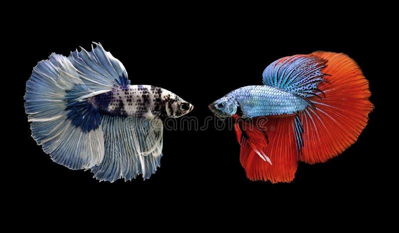 Ψάρια Betta, σιαμέζα ψάρια πάλης που απομονώνονται στο Μαύρο στοκ εικόνες