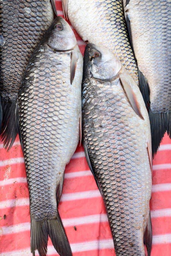 Ψάρια Catla στοκ φωτογραφίες