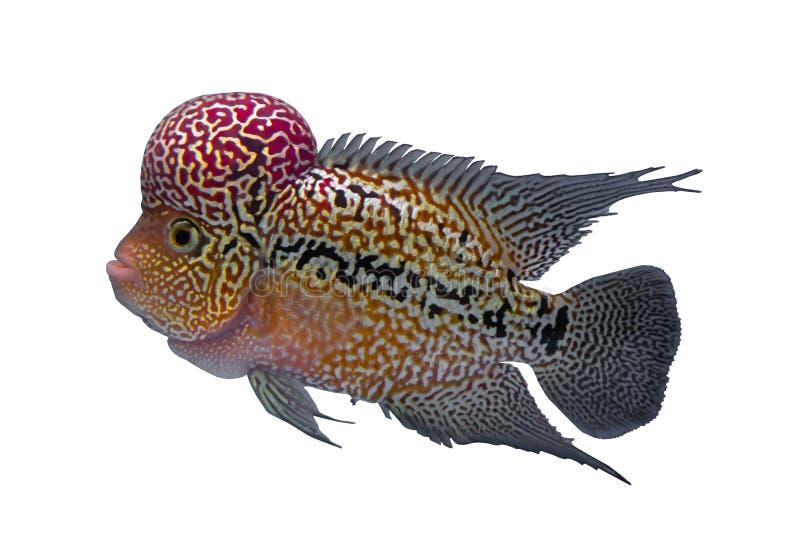 Ψάρια Cichlid που απομονώνονται σε ένα άσπρο υπόβαθρο στοκ εικόνα