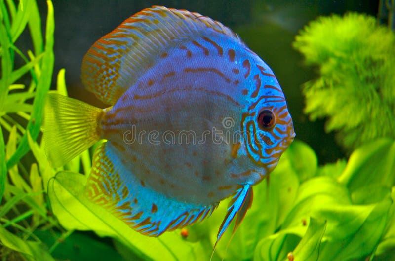 ψάρια discus στοκ φωτογραφία