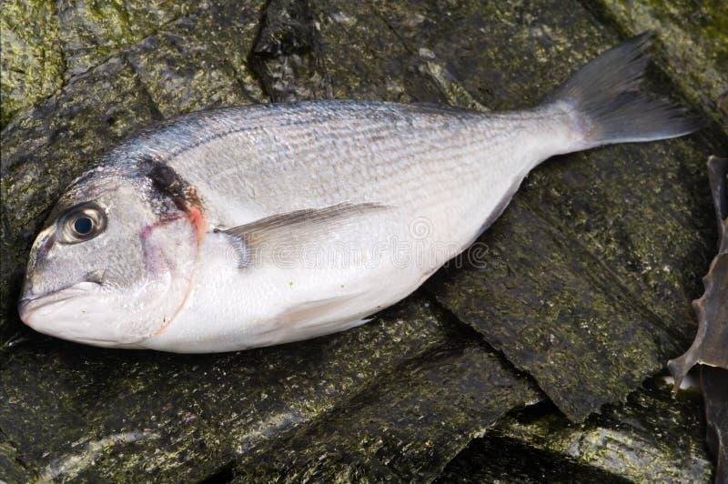 Ψάρια Gilthead και άλγη Nori στοκ φωτογραφία με δικαίωμα ελεύθερης χρήσης
