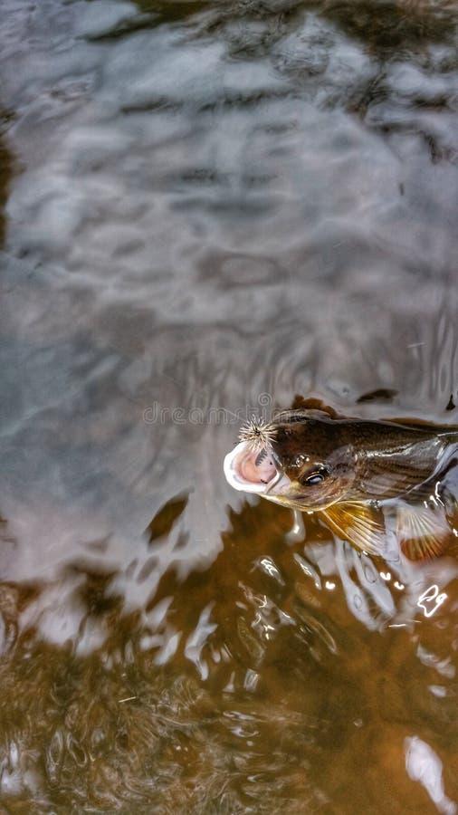 Ψάρια Greyling στοκ φωτογραφίες