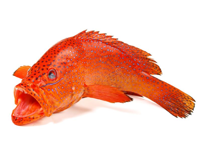 Ψάρια - Grouper φραουλών, κοράλλι οπίσθιο στοκ εικόνα