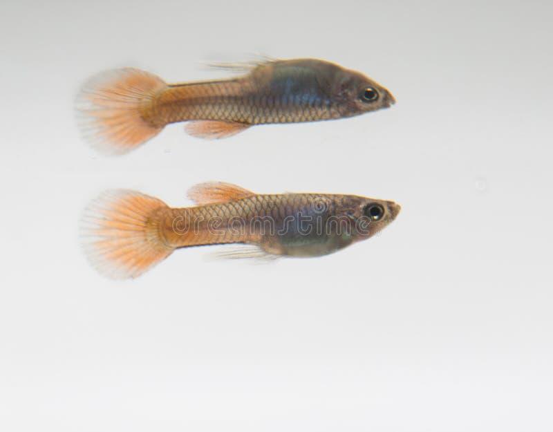Ψάρια Guppy ενυδρείων στοκ εικόνα