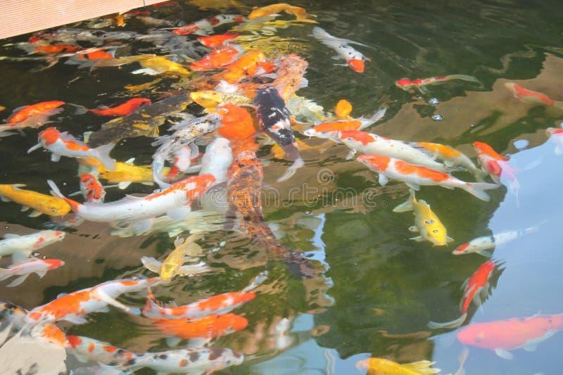 Ψάρια Koi, δυτική Ιάβα Ινδονησία στοκ εικόνα