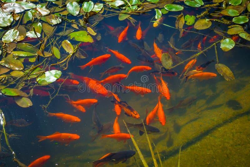 Ψάρια Koi σε μια λίμνη στοκ φωτογραφίες με δικαίωμα ελεύθερης χρήσης