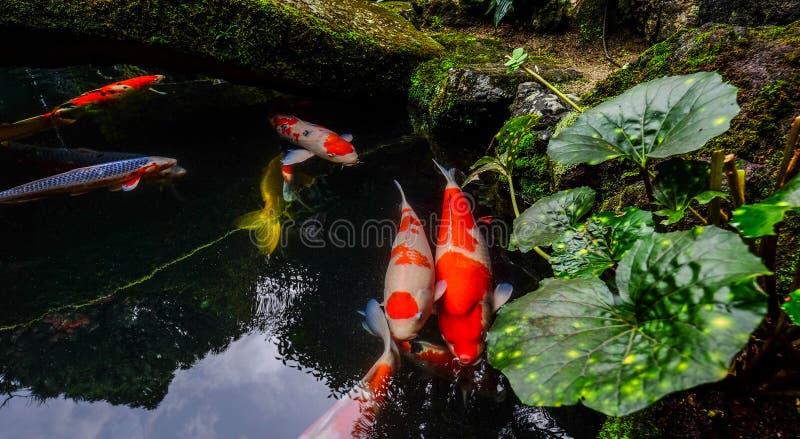 Ψάρια Koi στη λίμνη στο Κιότο, Ιαπωνία στοκ εικόνα