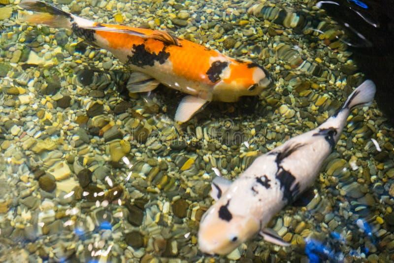 Ψάρια Koi στο πορτοκαλί και άσπρο ασιατικό σημάδι τοπ άποψης λιμνών της τύχης και του πλούτου στοκ φωτογραφία