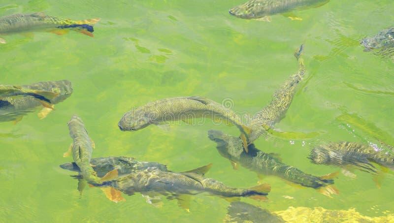 Ψάρια Piraputanga που κολυμπούν στο νερό του ποταμού Formoso σε Bon στοκ φωτογραφία με δικαίωμα ελεύθερης χρήσης