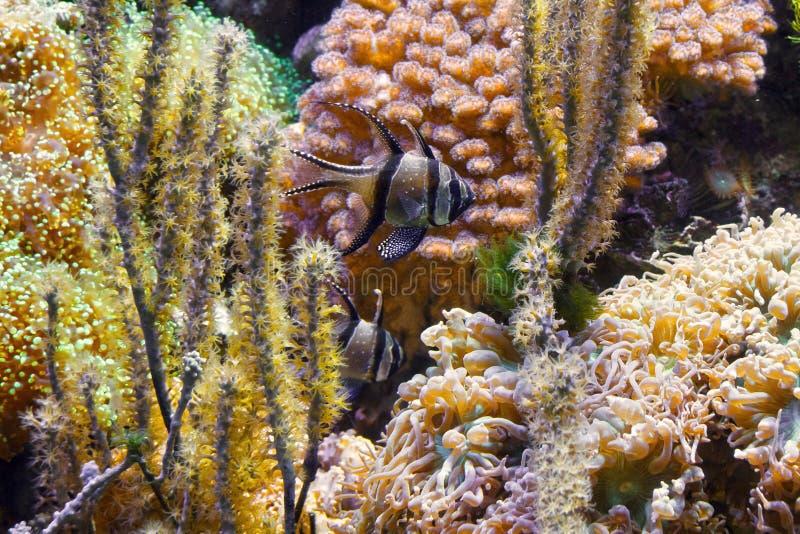 Ψάρια Pterapogon στο ενυδρείο στοκ φωτογραφίες