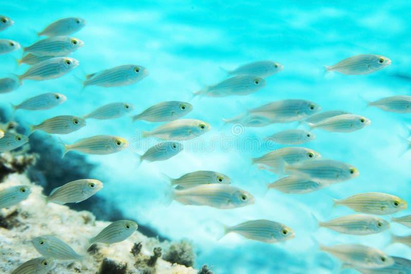Ψάρια Salema μεταβάσεων στοκ φωτογραφία με δικαίωμα ελεύθερης χρήσης