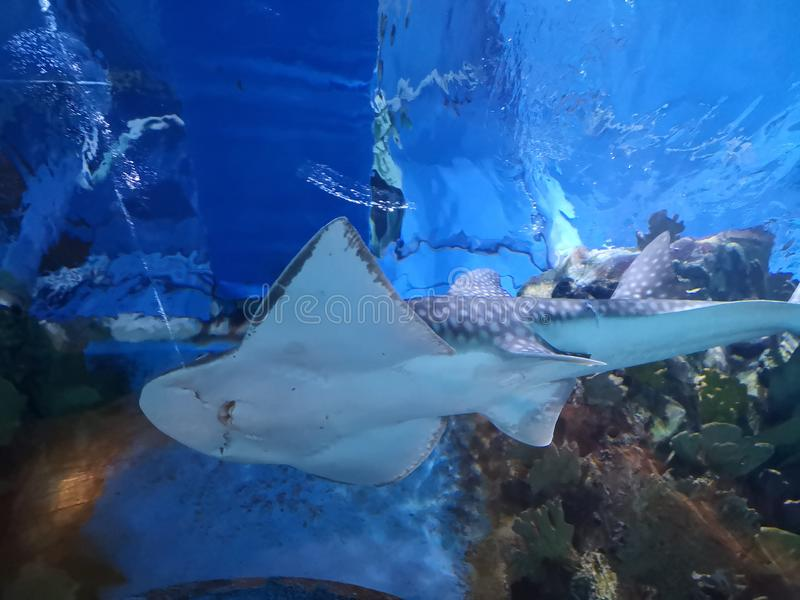 Ψάρια Skat στοκ εικόνα με δικαίωμα ελεύθερης χρήσης