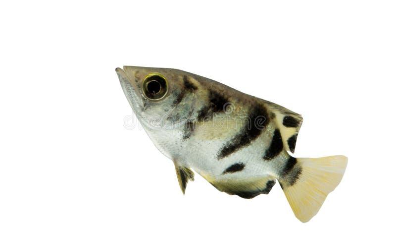 Ψάρια Toxotes τοξοτών jaculatrix που απομονώνεται στο άσπρο υπόβαθρο, Γ στοκ φωτογραφία