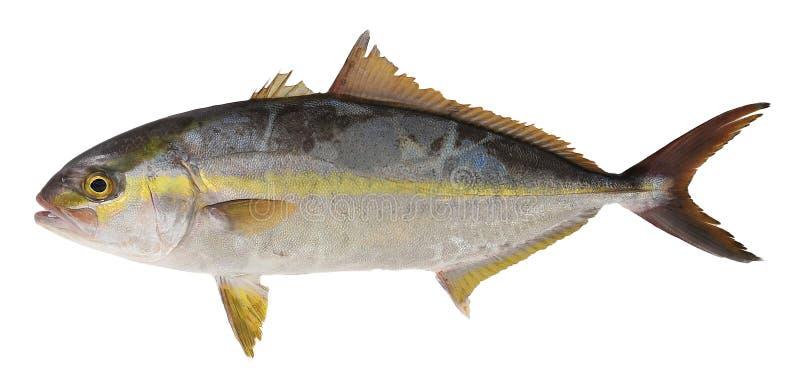 ψάρια trevally στοκ φωτογραφίες με δικαίωμα ελεύθερης χρήσης