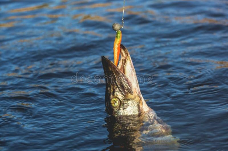 Ψάρια Zander που πιάνεται στο γάντζο σε μια του γλυκού νερού λίμνη στοκ εικόνα με δικαίωμα ελεύθερης χρήσης