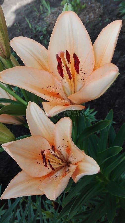 ψαλιδίζοντας απομονωμένο λουλούδι λευκό μονοπατιών κρίνων στοκ φωτογραφίες με δικαίωμα ελεύθερης χρήσης